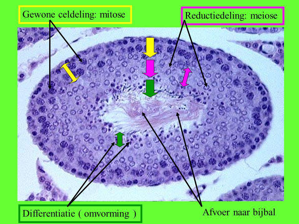 Gewone celdeling: mitose Reductiedeling: meiose