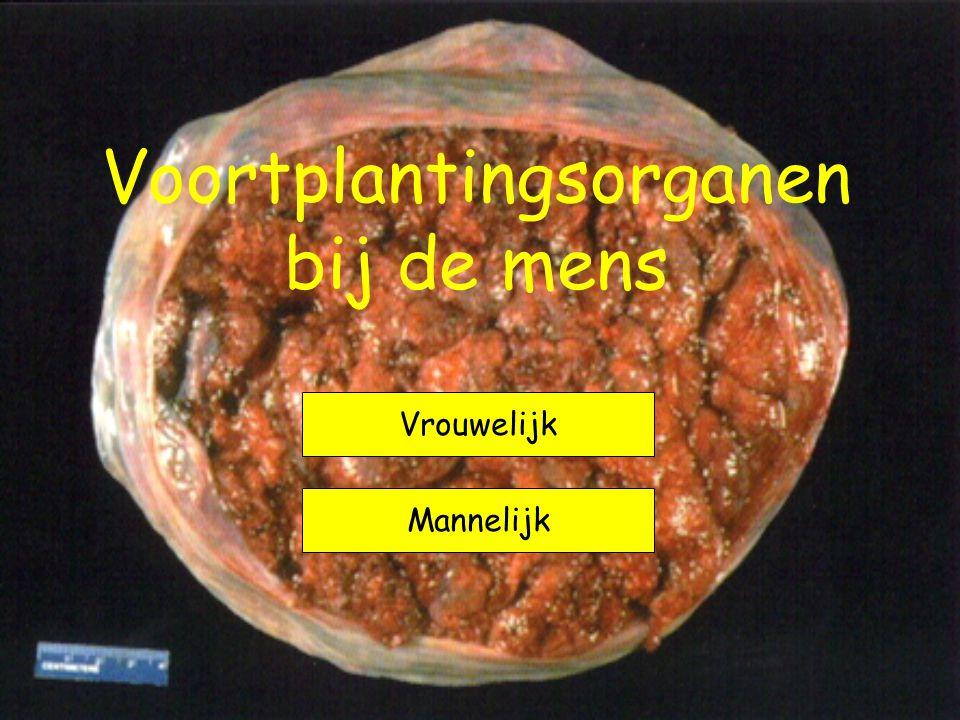 Voortplantingsorganen bij de mens