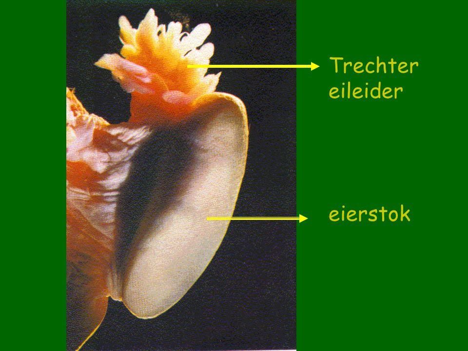 Trechter eileider eierstok