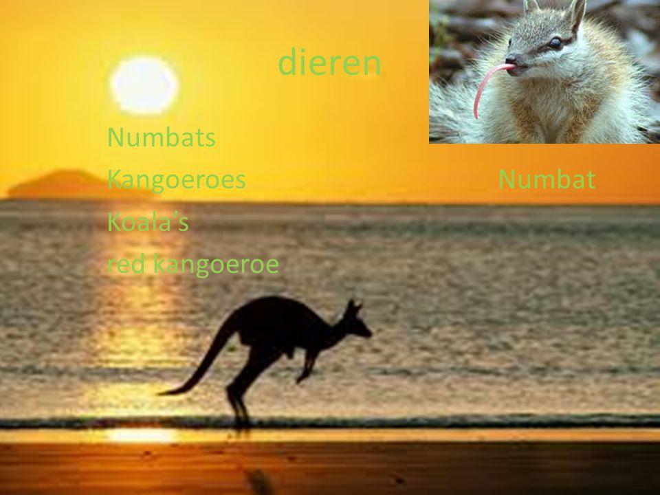 dieren Numbats Kangoeroes Numbat Koala's red kangoeroe