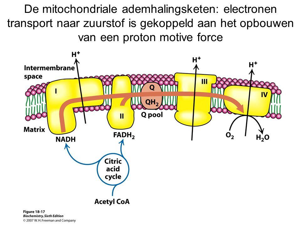 De mitochondriale ademhalingsketen: electronen transport naar zuurstof is gekoppeld aan het opbouwen van een proton motive force