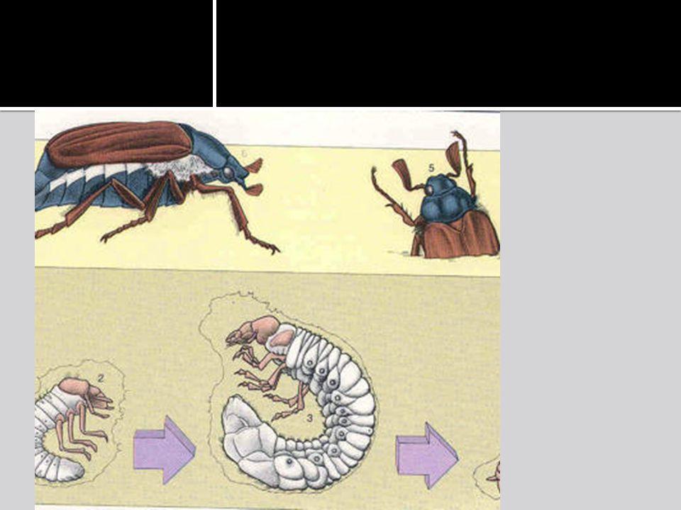 De metamorfose van een kever