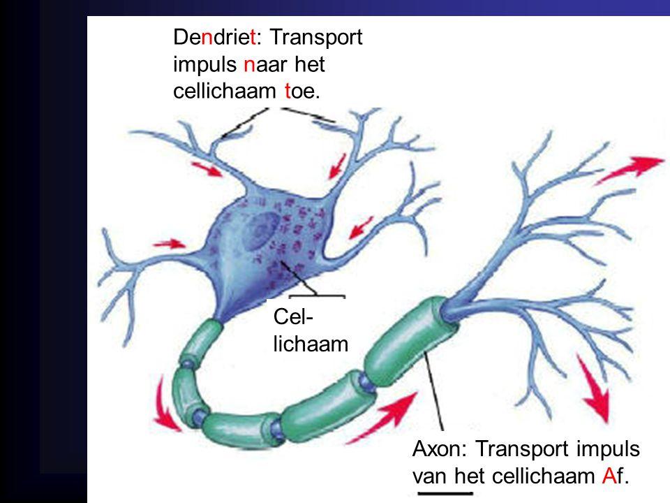 Dendriet: Transport impuls naar het cellichaam toe.