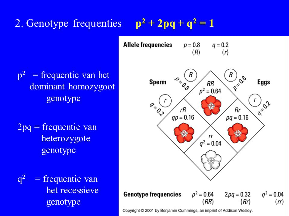 2. Genotype frequenties p2 + 2pq + q2 = 1