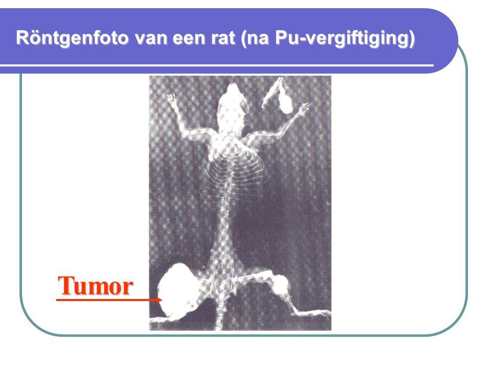 Röntgenfoto van een rat (na Pu-vergiftiging)