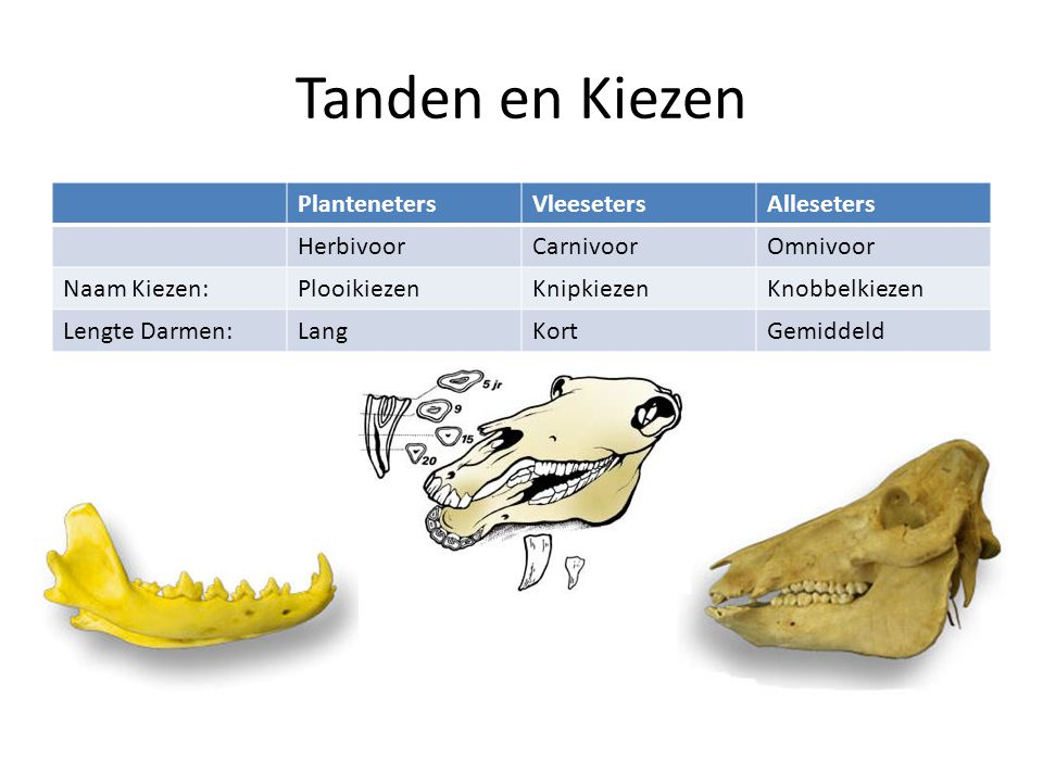Tanden en Kiezen Planteneters Vleeseters Alleseters Herbivoor