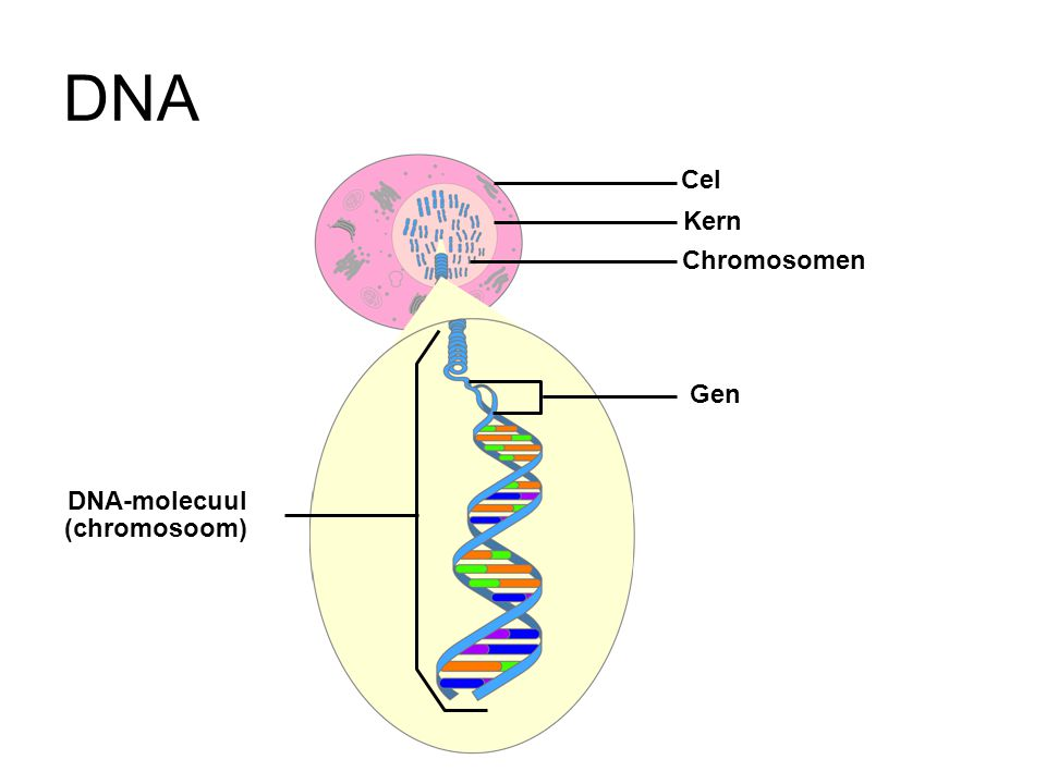 DNA Cel Kern Chromosomen Gen DNA-molecuul (chromosoom)
