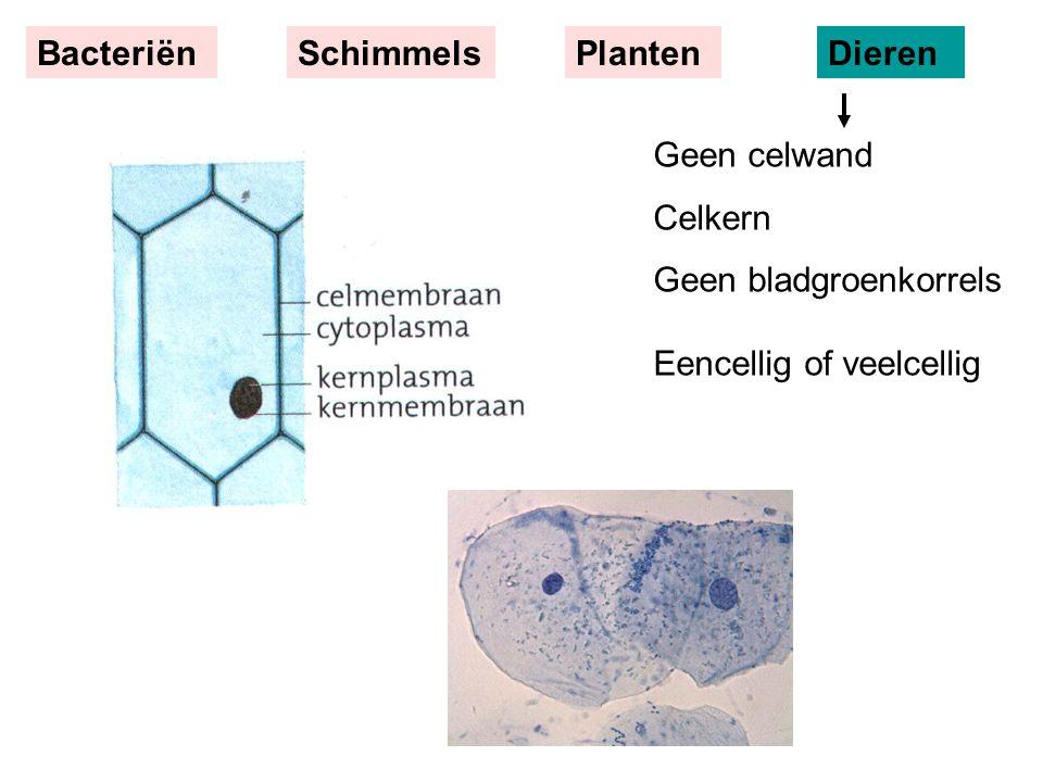 Bacteriën Schimmels. Planten. Dieren. Geen celwand.