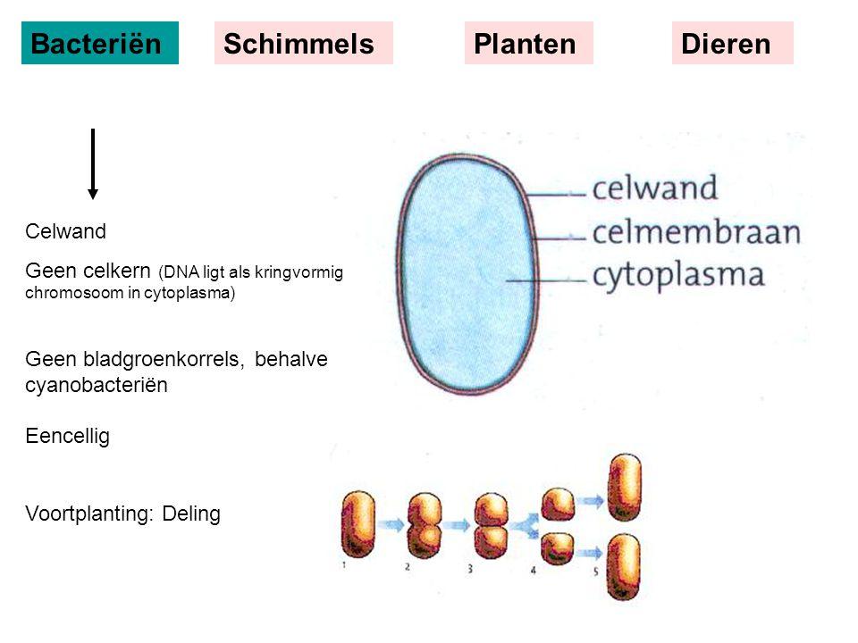 Bacteriën Schimmels Planten Dieren Celwand