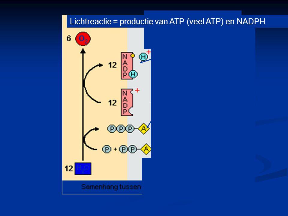 Lichtreactie = productie van ATP (veel ATP) en NADPH