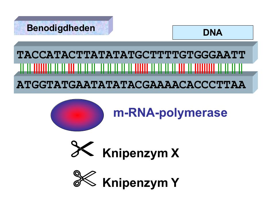  Knipenzym X  Knipenzym Y TACCATACTTATATATGCTTTTGTGGGAATT