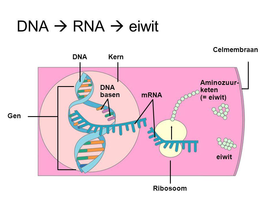 DNA  RNA  eiwit Celmembraan DNA Kern Aminozuur-keten (= eiwit)
