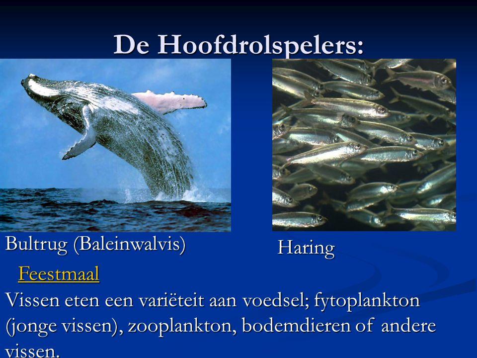 De Hoofdrolspelers: Bultrug (Baleinwalvis) Haring Feestmaal
