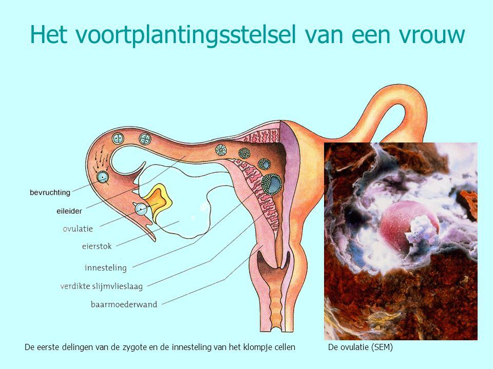 Het voortplantingsstelsel van een vrouw