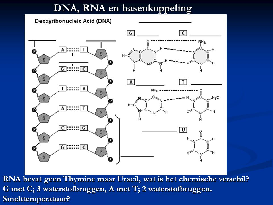 DNA, RNA en basenkoppeling