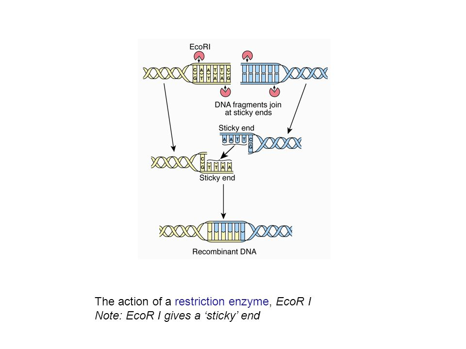 The action of a restriction enzyme, EcoR I