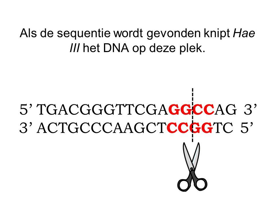 Als de sequentie wordt gevonden knipt Hae III het DNA op deze plek.