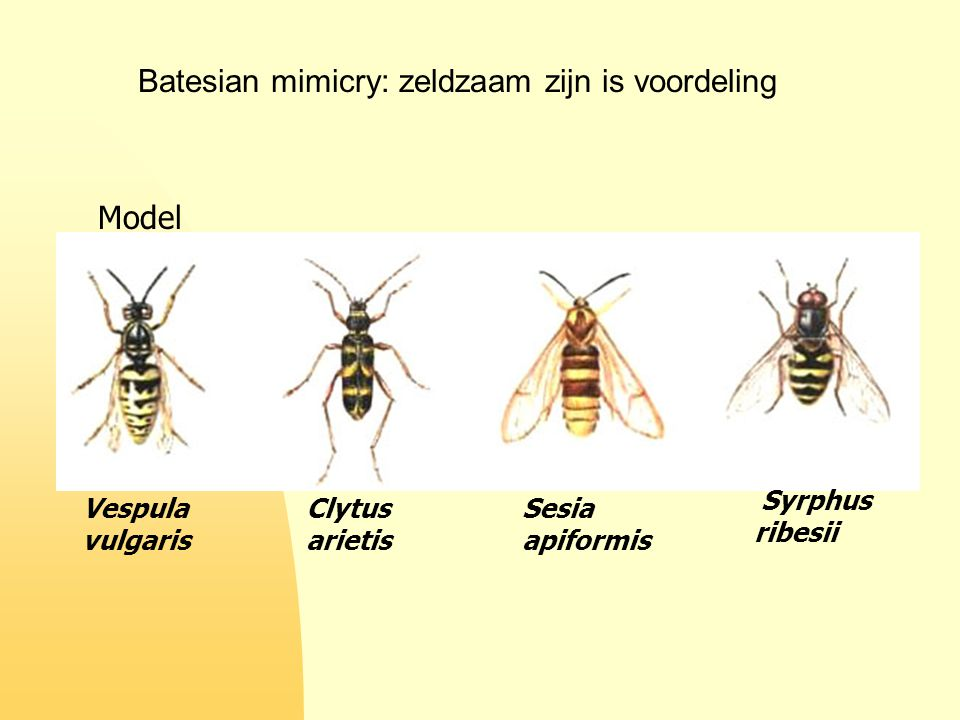 Batesian mimicry: zeldzaam zijn is voordeling