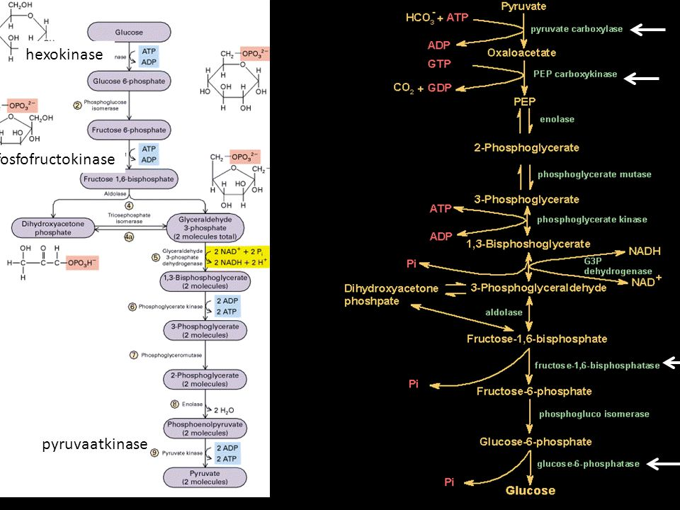 hexokinase fosfofructokinase pyruvaatkinase