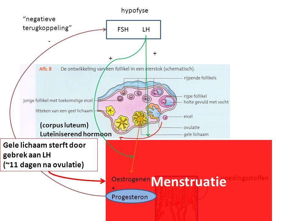 Menstruatie Gele lichaam sterft door gebrek aan LH