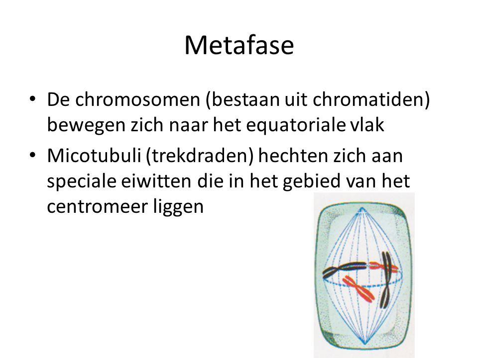 Metafase De chromosomen (bestaan uit chromatiden) bewegen zich naar het equatoriale vlak.