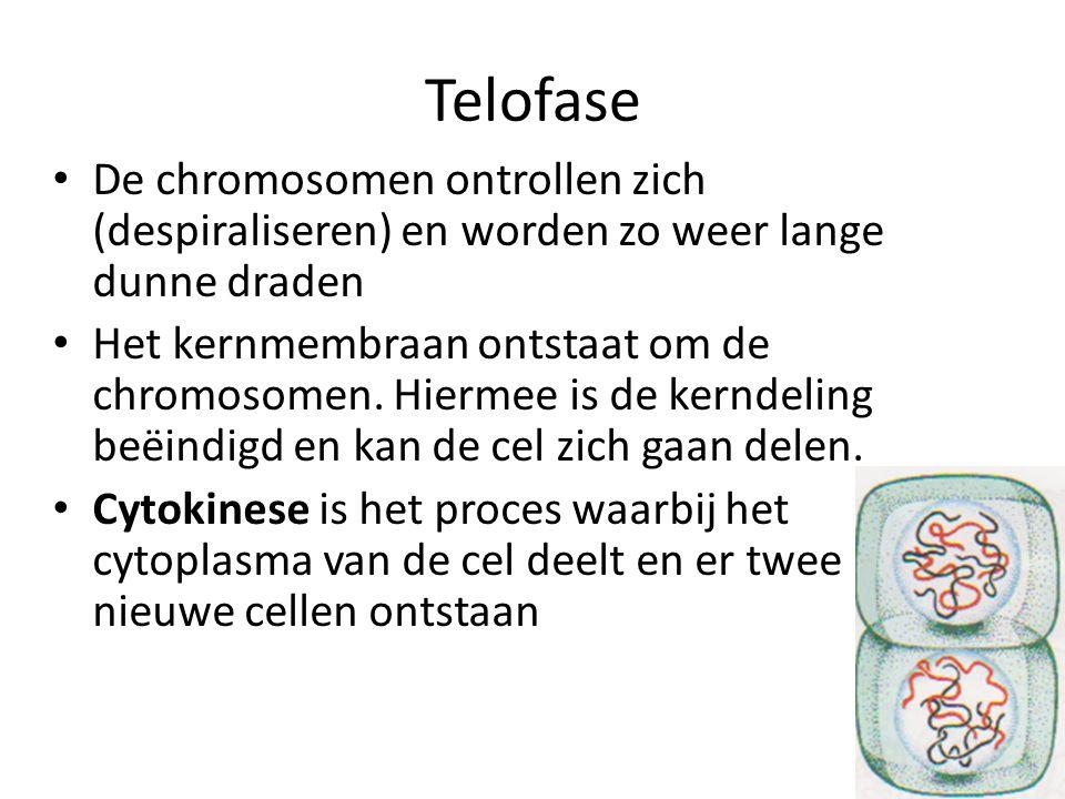 Telofase De chromosomen ontrollen zich (despiraliseren) en worden zo weer lange dunne draden.