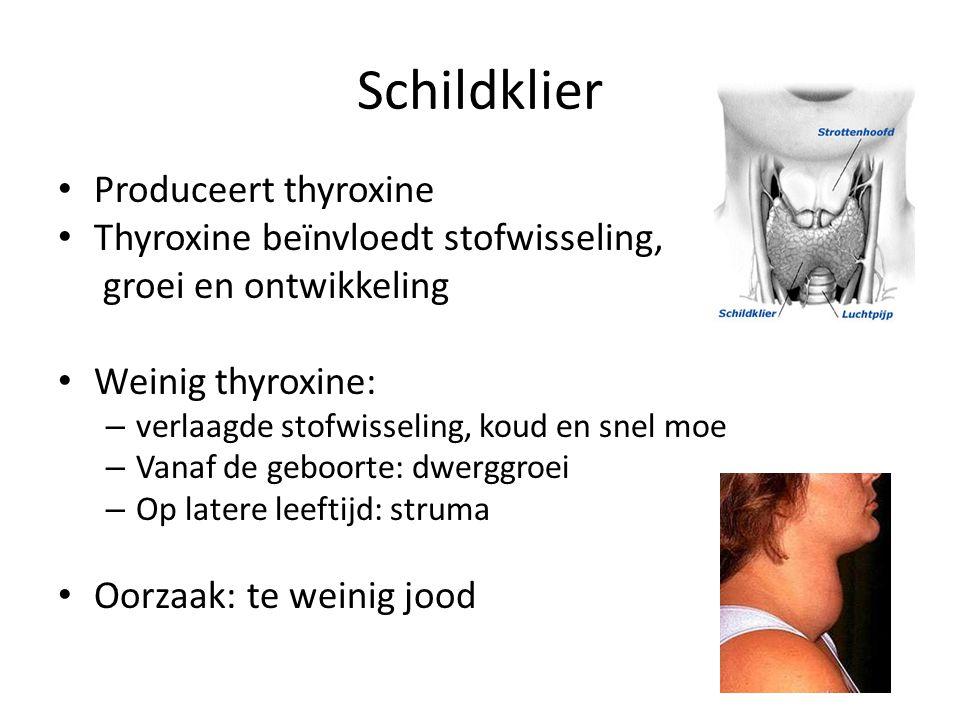 Schildklier Produceert thyroxine Thyroxine beïnvloedt stofwisseling,