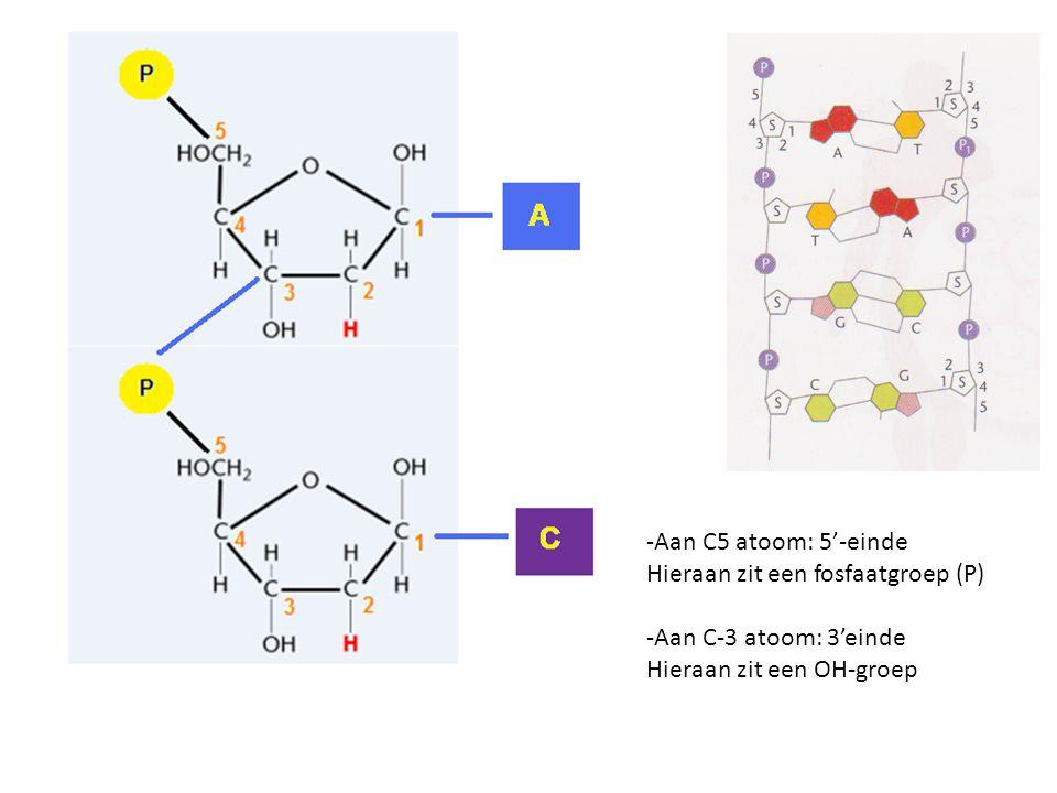 -Aan C5 atoom: 5'-einde Hieraan zit een fosfaatgroep (P) -Aan C-3 atoom: 3'einde.