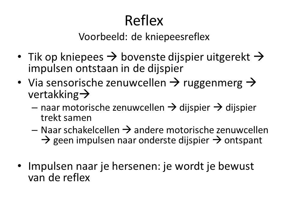 Reflex Voorbeeld: de kniepeesreflex