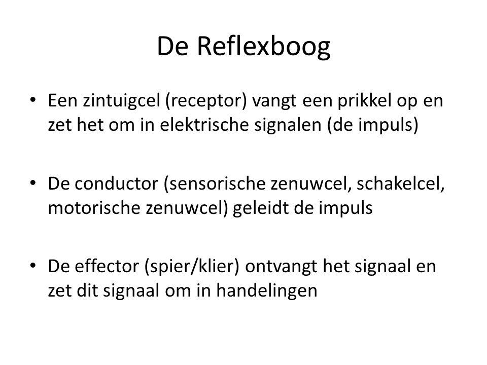 De Reflexboog Een zintuigcel (receptor) vangt een prikkel op en zet het om in elektrische signalen (de impuls)