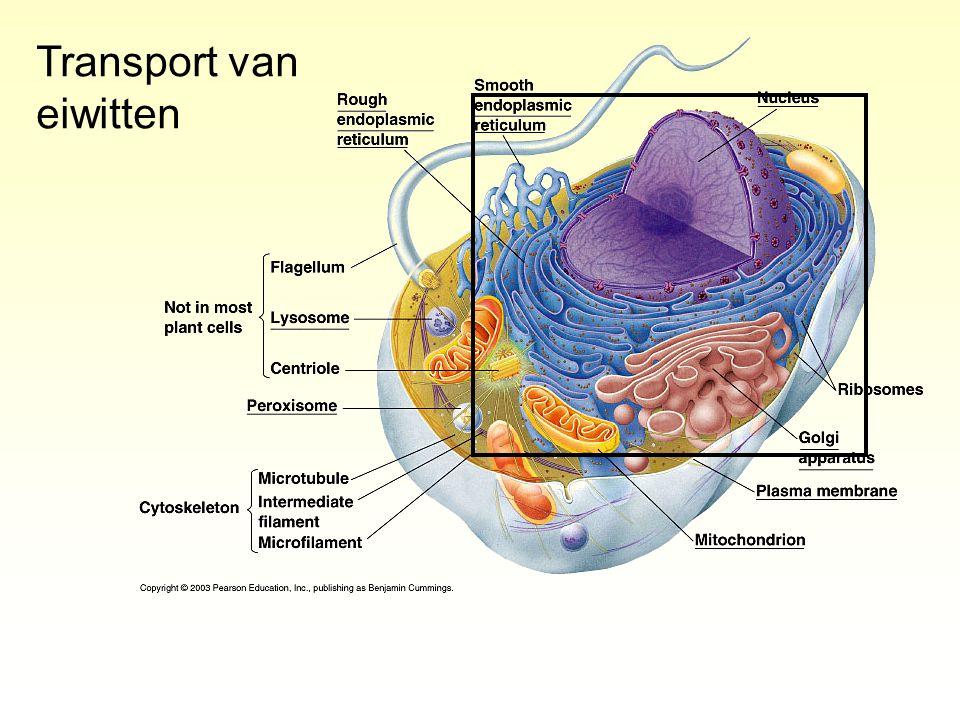 Transport van eiwitten