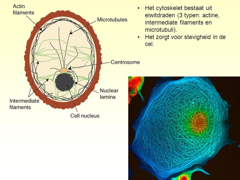 Het cytoskelet bestaat uit eiwitdraden (3 typen: actine, intermediate filaments en microtubuli).