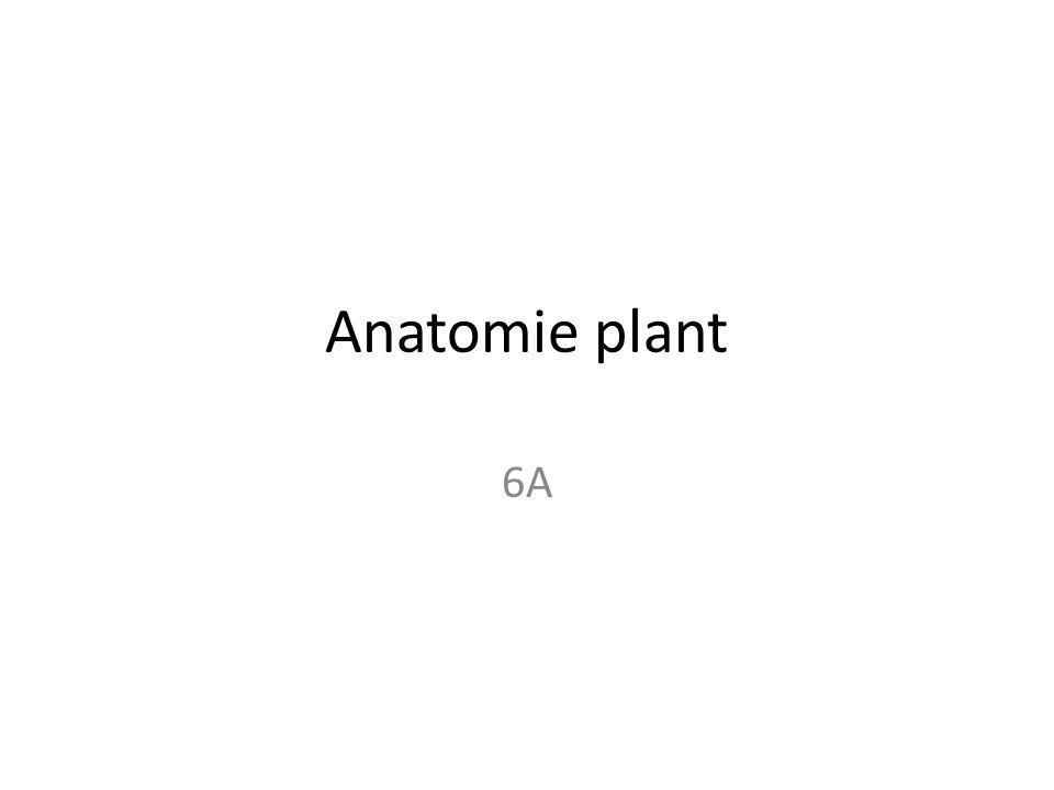 Anatomie plant 6A