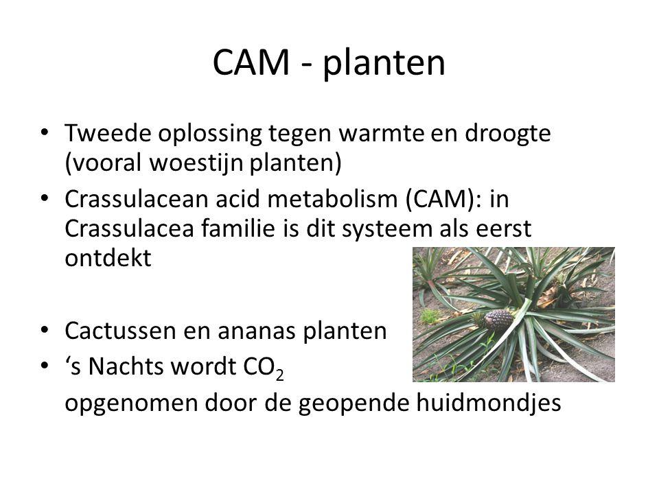 CAM - planten Tweede oplossing tegen warmte en droogte (vooral woestijn planten)
