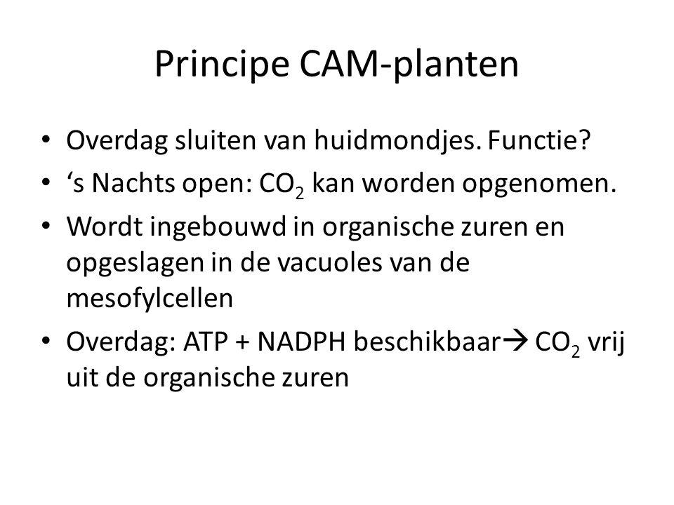 Principe CAM-planten Overdag sluiten van huidmondjes. Functie