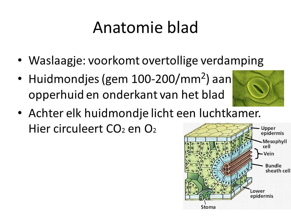 Anatomie blad Waslaagje: voorkomt overtollige verdamping