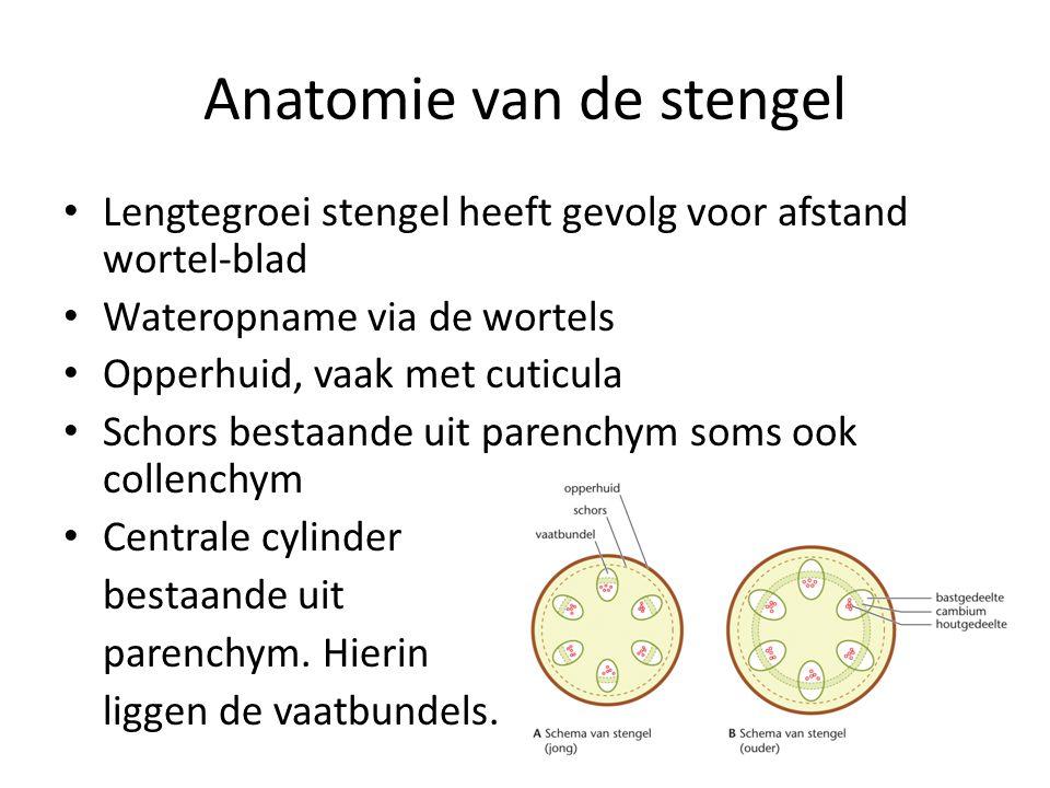 Anatomie van de stengel
