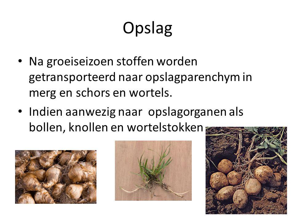 Opslag Na groeiseizoen stoffen worden getransporteerd naar opslagparenchym in merg en schors en wortels.