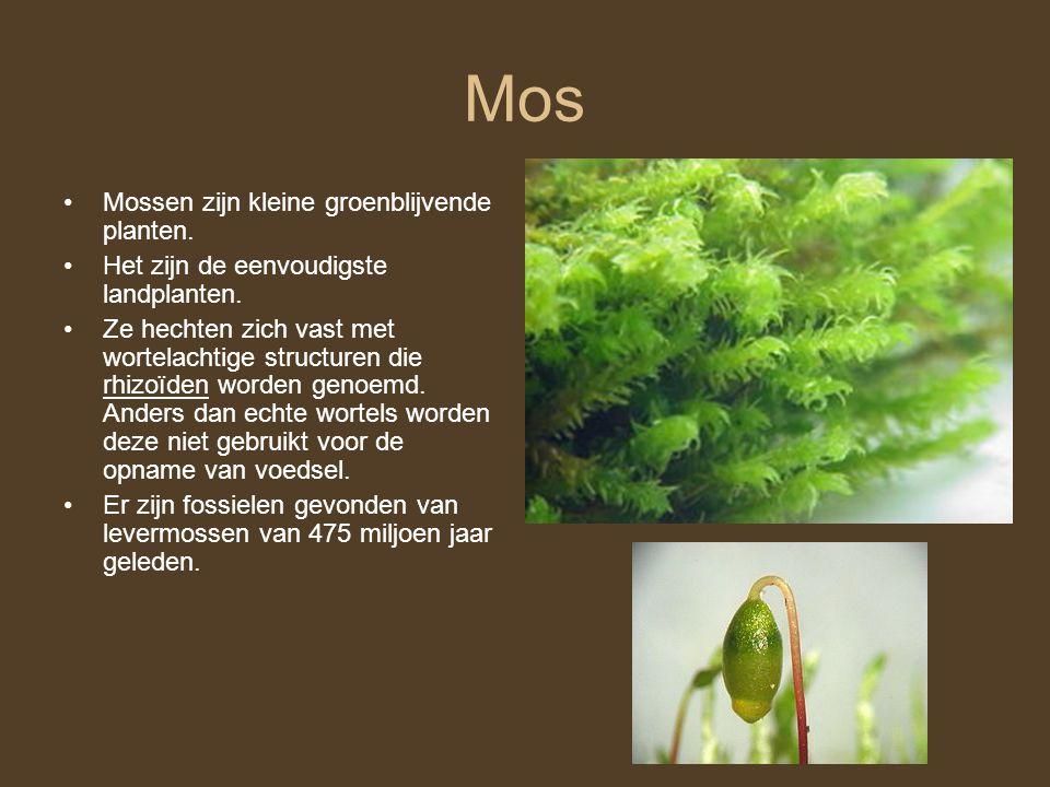 Mos Mossen zijn kleine groenblijvende planten.
