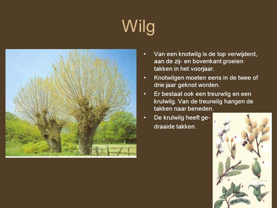 Wilg Van een knotwilg is de top verwijderd, aan de zij- en bovenkant groeien takken in het voorjaar.
