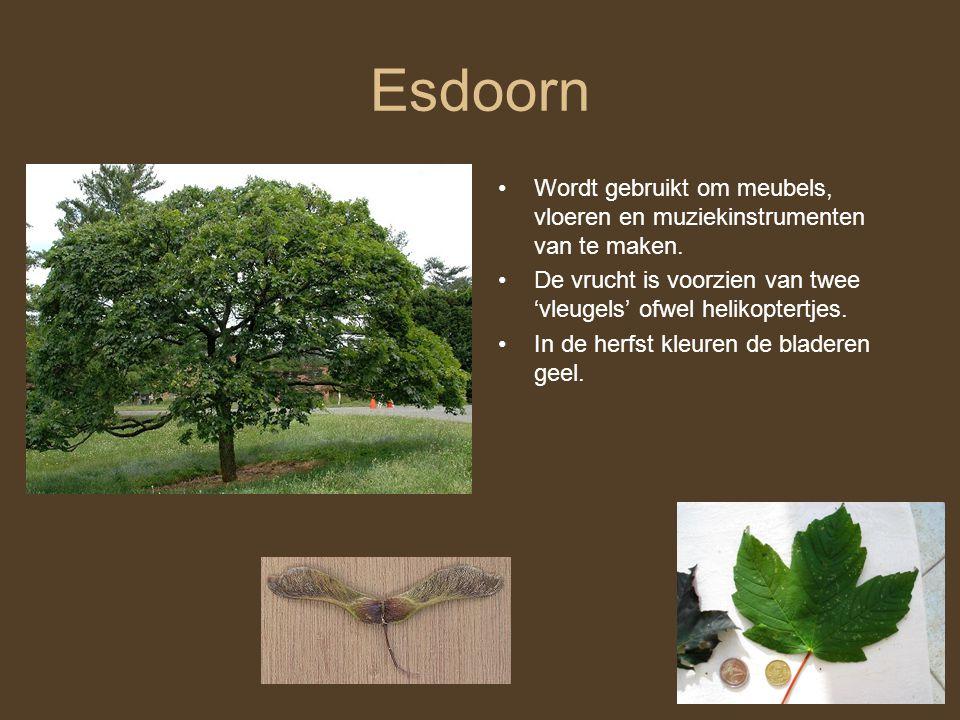 Esdoorn Wordt gebruikt om meubels, vloeren en muziekinstrumenten van te maken. De vrucht is voorzien van twee 'vleugels' ofwel helikoptertjes.