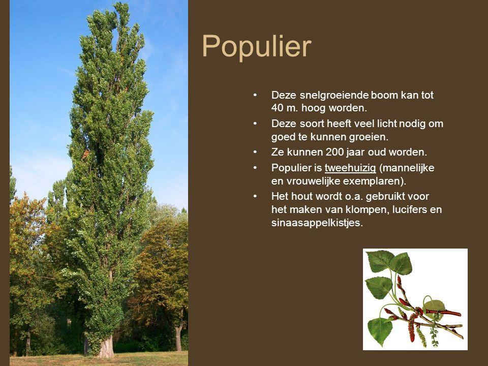 Populier Deze snelgroeiende boom kan tot 40 m. hoog worden.