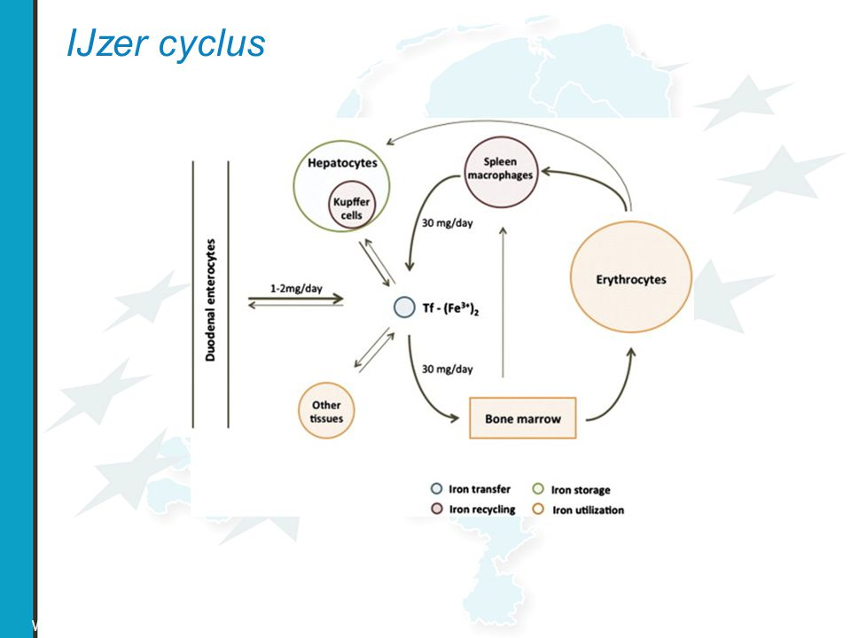 IJzer cyclus World Health Organization, 1999
