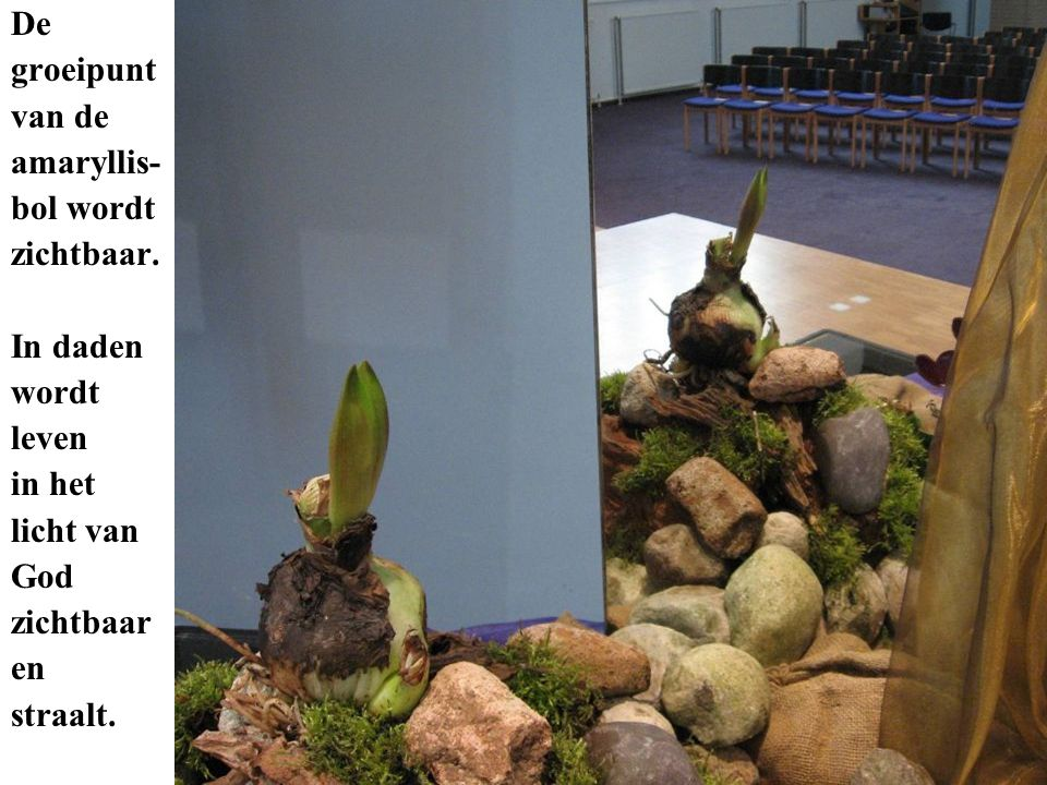 De groeipunt. van de. amaryllis- bol wordt. zichtbaar. In daden. wordt. leven. in het. licht van.