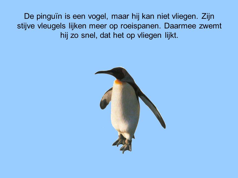 De pinguïn is een vogel, maar hij kan niet vliegen
