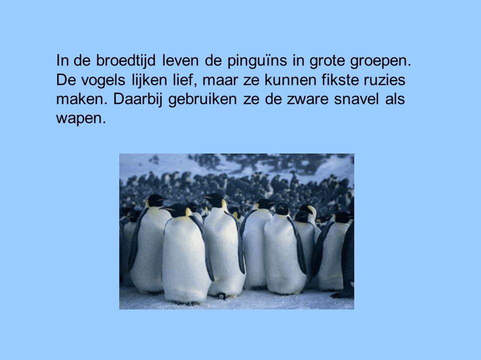In de broedtijd leven de pinguïns in grote groepen