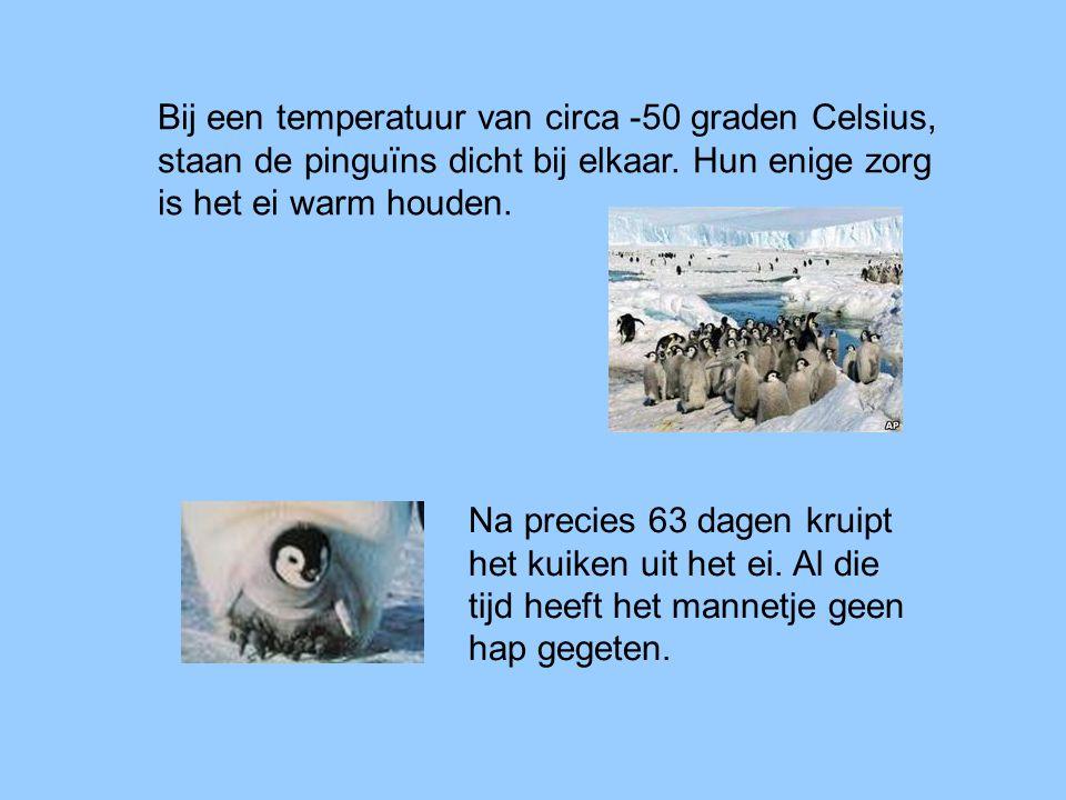 Bij een temperatuur van circa -50 graden Celsius, staan de pinguïns dicht bij elkaar. Hun enige zorg is het ei warm houden.