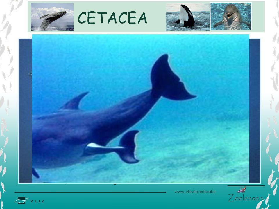CETACEA Interne bevruchting