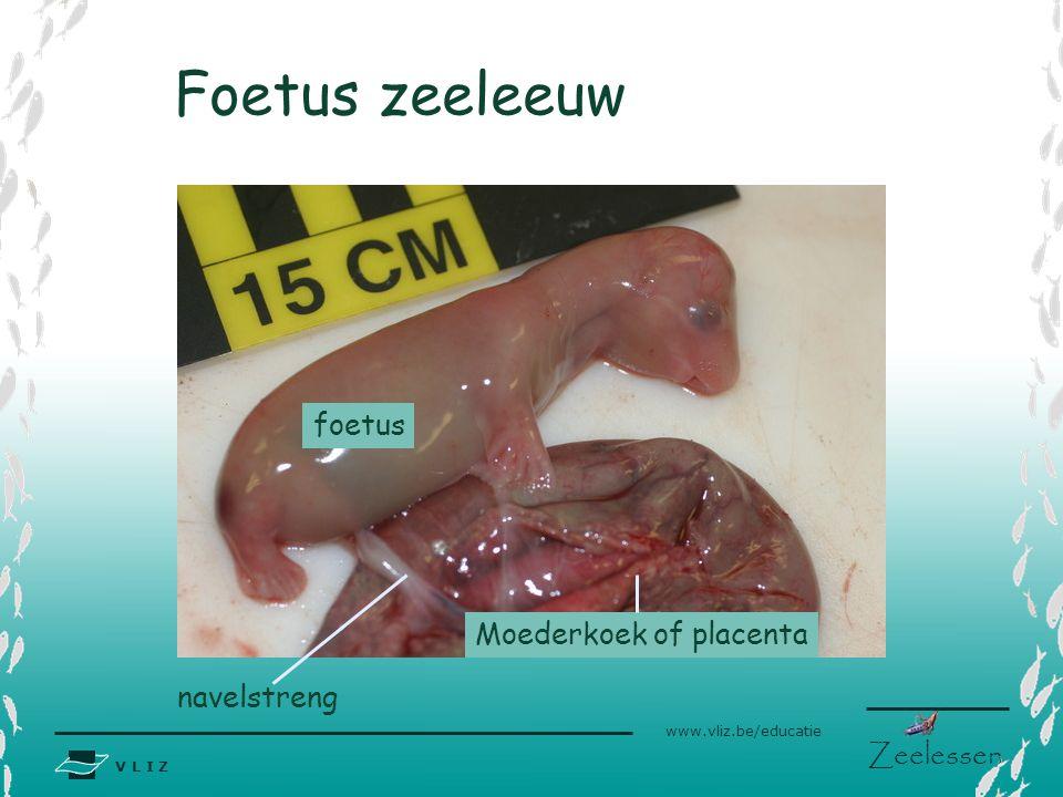 Foetus zeeleeuw foetus Moederkoek of placenta navelstreng