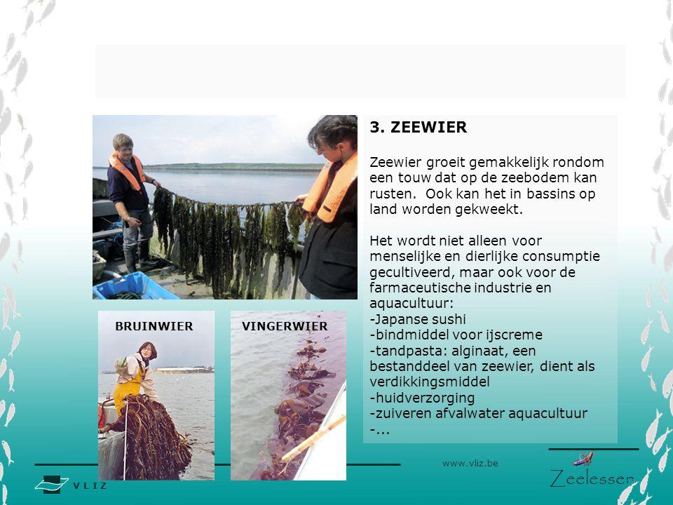 3. ZEEWIER Zeewier groeit gemakkelijk rondom een touw dat op de zeebodem kan rusten. Ook kan het in bassins op land worden gekweekt.